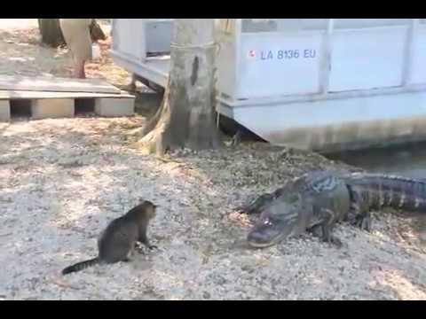 Cat vs Gator - Pet Cat Saves Boy from Two Vicious GATORS- (original)