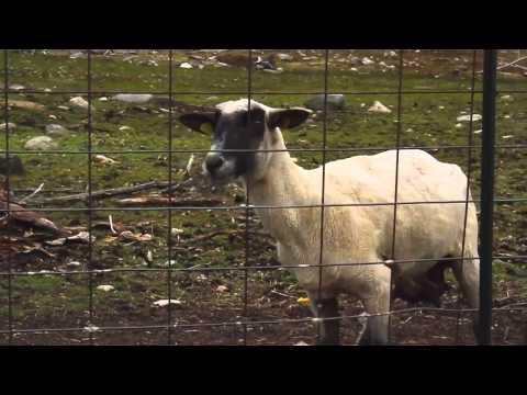 Sheep Screams Like a Little Girl