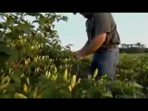 How It's Made Tabasco Hot Sauce Discovery Channel