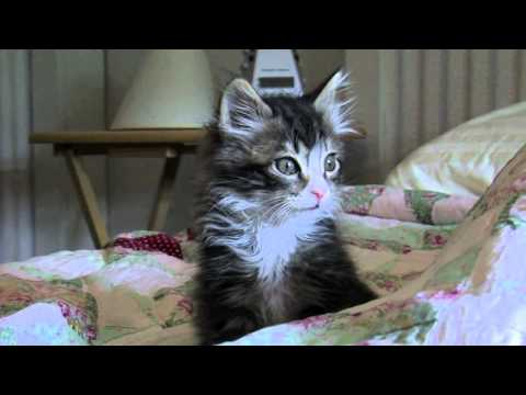 Ninja Kitty Trailer Starring Kahn the Cat