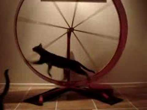 cat going faster on wheel