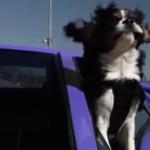 Hunde + lila Lamborghini + Rennstrecke = toll!