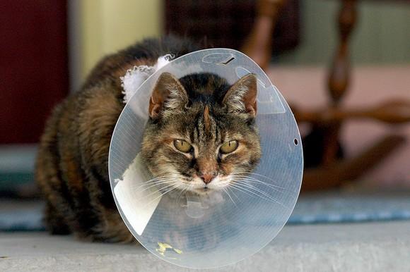 Cone of Shame Cat