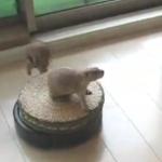 Katzen auf Staubsaugerrobotern sind ja sowas von out…