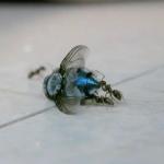 Video: Nur ein paar Ameisen, die eine Schmeißfliege abtransportieren