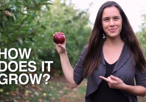 Wie werden Äpfel angebaut