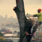Handwerkskunst: Einen riesigen Baum in einer Wohngegend fällen
