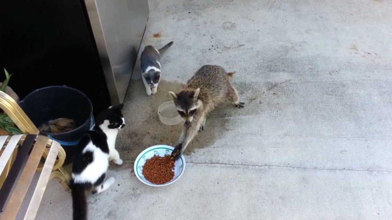 Waschbaer-Katzenfutter