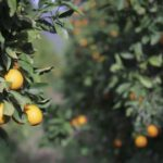 So werden Orangen angebaut und geerntet