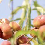So werden Pfirsiche angebaut und geerntet